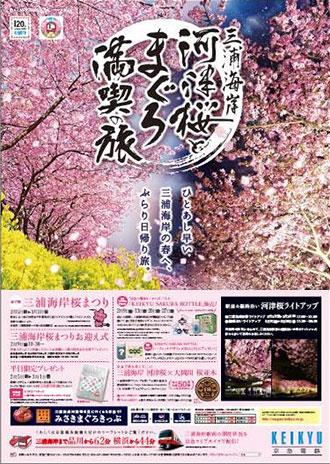 三浦 海岸 河津 桜